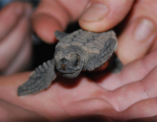 Turtle Hatchlings Mon Repos